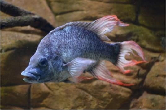 London-Zoo-desperately-seeking-mate-for-almost-extinct-fish-species