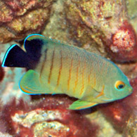 EIBLIS KEJSARFISK/Blacktailed Angelfish