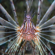 DRAKFISK/Red Lionfish