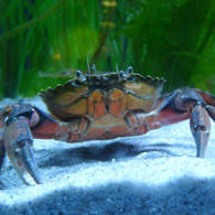 STRANDKRABBA/Common shore crab