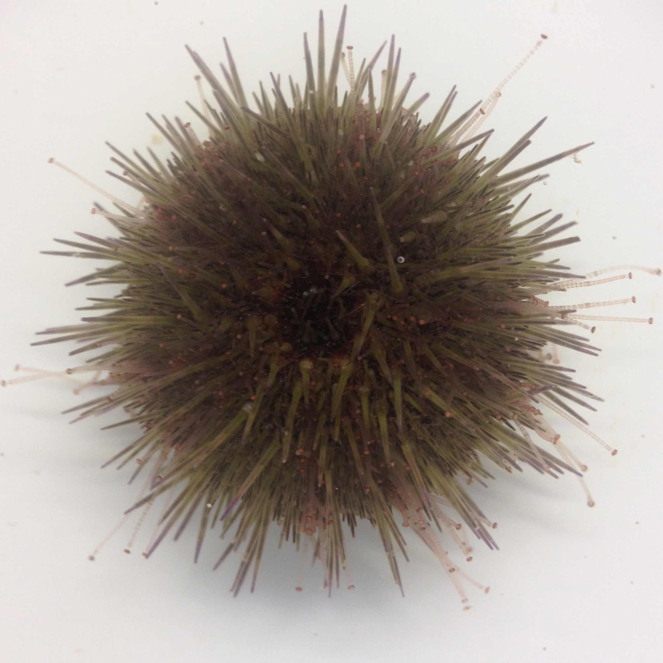 TÅNGBORRE/Green sea urchin