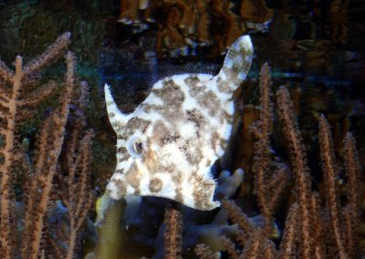 FILFISK/BRISTLETAIL FILEFISH