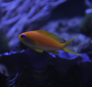 GULDANTHIAS/Sea Goldie