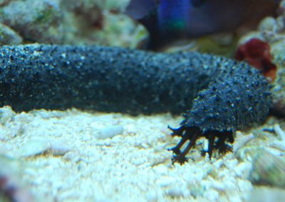SVART SJÖGURKA/BLACK SEA CUCUMBER