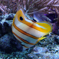 PINCETTFISK/Copperband Butterfly Fish